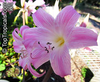 Amaryllis belladonna, Callicore rosea, Belladonna Lily, March Lily, Naked Lady  Click to see full-size image