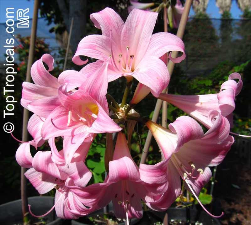 Amaryllis_belladonna6610.jpg