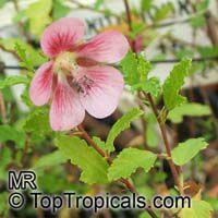 Anisodontea capensis, False mallow  Click to see full-size image