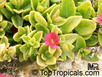 Aptenia cordifolia, Baby Sun RoseClick to see full-size image