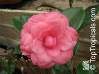 Camellia japonica, Camellia sasanqua, Camellia  Click to see full-size image
