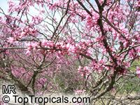 Cercis canadensis, Eastern Redbud, Judas Tree, Love Tree  Click to see full-size image
