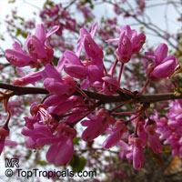 Cercis siliquastrum, Judas Tree, Love TreeClick to see full-size image