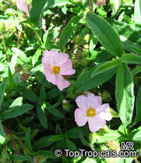 Cistus sp., RockroseClick to see full-size image