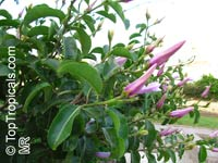 Cryptostegia madagascariensis, Madagascar rubbervine  Click to see full-size image