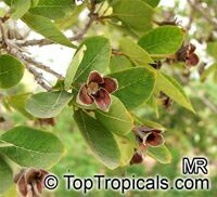Dais cotinifolia, Pompon tree, Pincushion tree, Kannabast