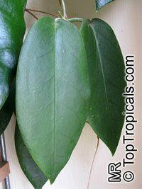 Hoya archboldiana, Papua Wax PlantClick to see full-size image