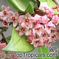 Hoya carnosa - Wax Plant  Click to see full-size image