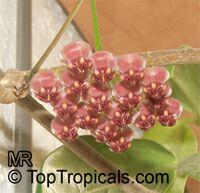 Hoya kentiana, Hoya wayettii, Wax PlantClick to see full-size image