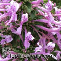 Hypoestes aristata, Purple Haze, Ribbon Bush  Click to see full-size image