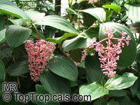 Medinilla cumingii, Chandelier Tree, Showy Melastome, Showy Medinilla, Malaysian Orchid  Click to see full-size image