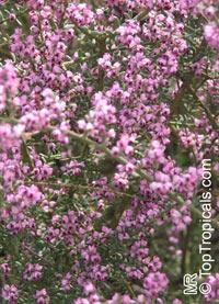 Muraltia spinosa, Nylandtia spinosa, Mundia spinosa, Tortoise Berry, Skilpadbessie  Click to see full-size image
