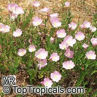 Oenothera speciosa, Pink Evening Primrose, Pinkladies  Click to see full-size image