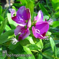 Polygala myrtifolia, September bush, Chupman Fields