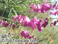 Polygala virgata, Purple broom, Persboom, Bloukappie