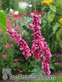 Persicaria orientalis, Polygonum orientale, Kiss Me Over The Garden Gate, Princess Feather, Oriental Persicary  Click to see full-size image