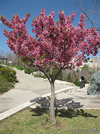Prunus campanulata, Taiwan Cherry, Formosan Cherry  Click to see full-size image