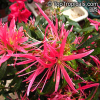 Rhododendron stenopetalum 'Linearifolium', Spider Azalea  Click to see full-size image