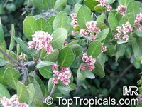 Rhus integrifolia, Lemonade Berry, Lemonade Sumac  Click to see full-size image