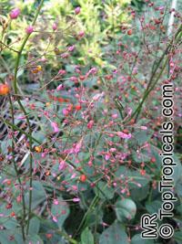 Talinum paniculatum,Talinum roseum, Portulaca paniculata, Jewels of Opar, Florida Spinach  Click to see full-size image