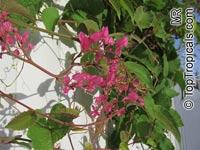 Antigonon leptopus, Mexican Coral Vine, Coral Creeper, Honolulu Creeper, Corallita, Chinese Love VineClick to see full-size image