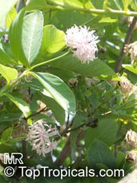 Dais cotinifolia, Pompon tree, Pincushion tree, Kannabast  Click to see full-size image