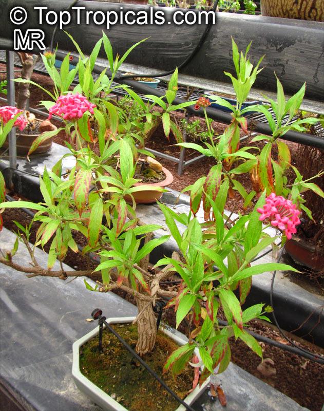 Rondeletia Leucophylla Panama Rose Bush Pentas