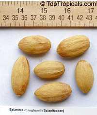 Balanites maughamii, Torchwood, Menduro  Click to see full-size image