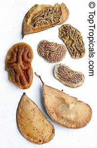 Colophospermum mopane, Mopane, Turpentine Tree   Click to see full-size image
