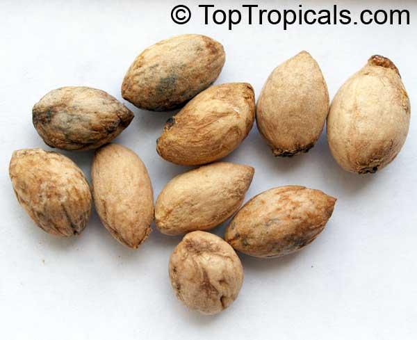 Elaeodendron sp , False Olive - TopTropicals com
