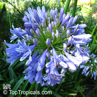 Agapanthus africanus - Storm Cloud   Click to see full-size image
