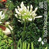 Agapanthus sp., African Lily  Click to see full-size image