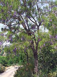 Bolusanthus speciosus, Tree Wisteria, Vanwykshout, Mogaba  Click to see full-size image