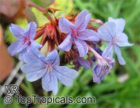Ceratostigma sp., Blue Leadwood, Dwarf Plumbago, Leadwort  Click to see full-size image