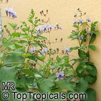 Clerodendrum ugandense, Rotheca myricoides, Butterfly Clerodendrum, Blue Butterfly Bush, Blue Glory Bower, Blue Wings