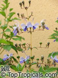 Clerodendrum ugandense, Rotheca myricoides, Butterfly Clerodendrum, Blue Butterfly Bush, Blue Glory Bower, Blue Wings  Click to see full-size image