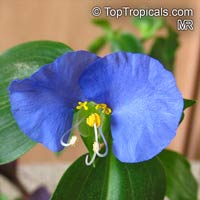 Commelina sp., Dayflower  Click to see full-size image