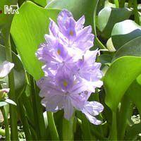 Eichhornia crassipes, Water Hyacinth  Click to see full-size image