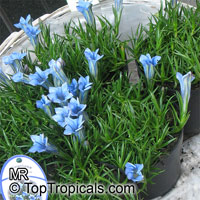 Gentiana sp., Gentian  Click to see full-size image