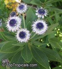 Globularia x indubia, Globe Daisy  Click to see full-size image