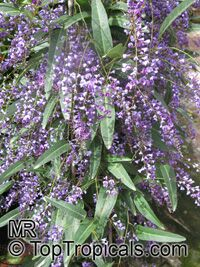 Hardenbergia sp. , Coral Pea  Click to see full-size image