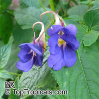 Impatiens namchabarwensis, Blue Diamond Impatiens  Click to see full-size image