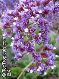 Limonium sp., Sea-lavender, Statice, Marsh-rosemary  Click to see full-size image