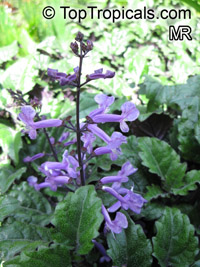Plectranthus ecklonii Mona Lavender, Mona Lavender, Plectranthus hybrid  Click to see full-size image