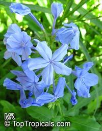 Plumbago auriculata, Plumbago capensis, Blue Plumbago, Cape Plumbago, Cape Leadwort  Click to see full-size image