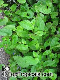 Rhynchoglossum sp., Rhynchoglossum  Click to see full-size image