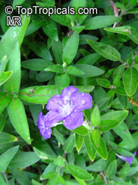 Ruellia squarrosa, Ruellia, Water Bluebell