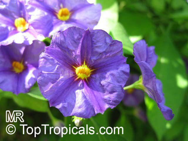 Solanum rantonnetii  Lycianthes rantonnetii   Blue Solanum Shrub