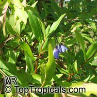 Sollya heterophylla, Bluebell Creeper  Click to see full-size image