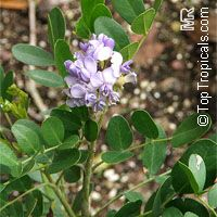 Sophora secundiflora, Texas Mountain-Laurel  Click to see full-size image
